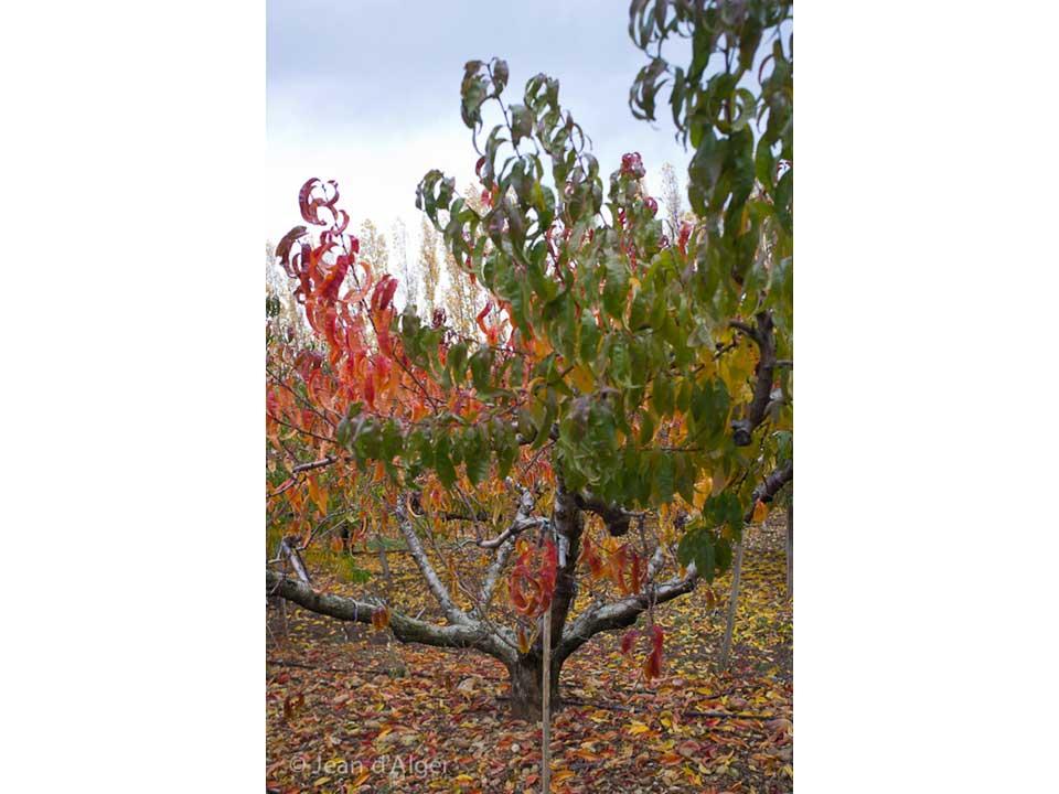 jean_d_alger-arbre