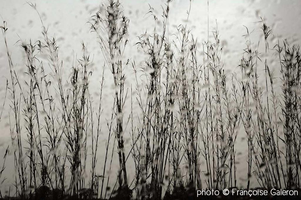 Roseaux©françoise-Galeron