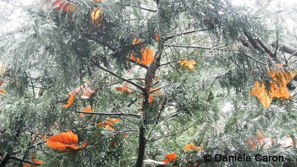 daniele-caron-pluie-dautomne-sur-le-cedre
