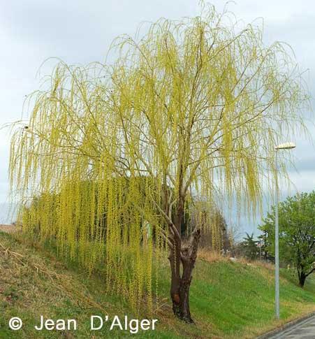 jean-d-alger-arbre