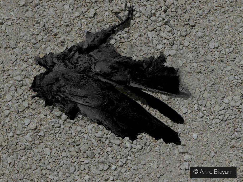 le-corbeau-honteux-et-confus