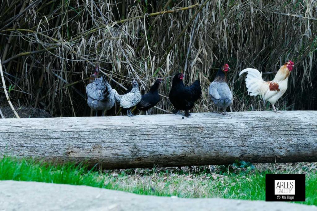 poules_1530022