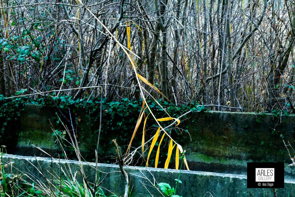 roseau-jaune_1520960