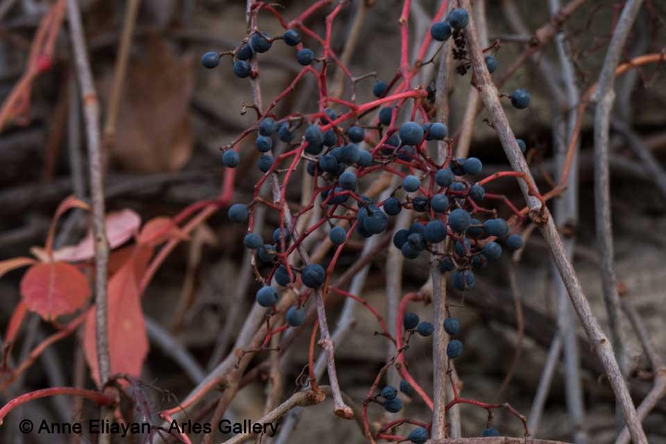 vigne-automne_anne_eliayan_arles