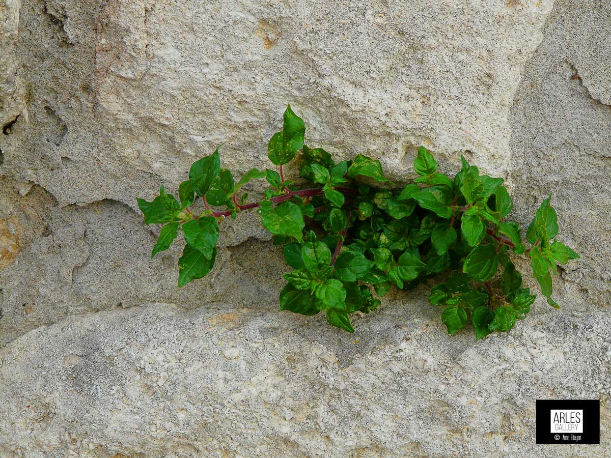 photo galerie plantes parietaire-arles-gallery